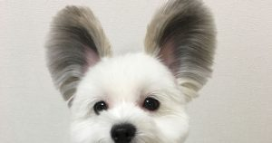 Little Dog Has Captured Everyone's Hearts With Her Big Ears and We Can't Have Enough